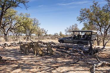 Lion pride (Panthera leo), resting near safari vehicle in Chobe National Park, Botswana, Africa