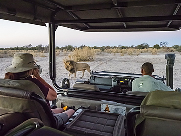 Male lion (Panthera leo) walking near safari vehicle in the Okavango Delta, Botswana, Africa