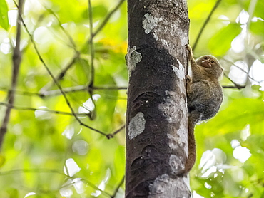 Adult pygmy marmoset (Cebuella pygmaea), Lake Clavero, Amazon Basin, Loreto, Peru, South America