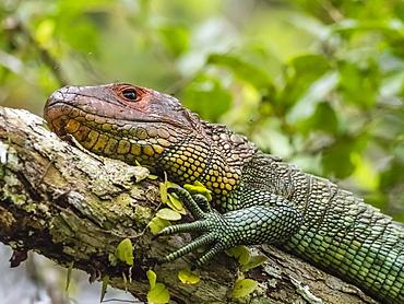 Adult northern caiman lizard (Dracaena guianensis), basking in Belluda Cano, Amazon Basin, Loreto, Peru, South America
