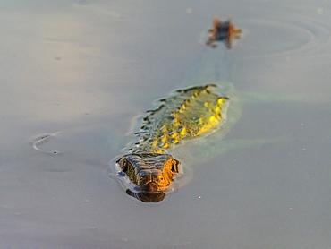 Adult northern caiman lizard (Dracaena guianensis), swimming the Rio Yanayacu, Amazon Basin, Loreto, Peru, South America