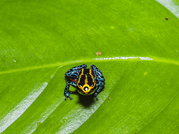 An adult Amazonian poison frog (Dendrobates ventrimaculatus), on the Maranon River, near Iquitos, Peru, South America