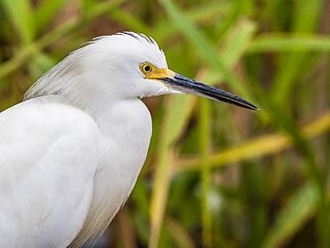 An adult snowy egret (Egretta thula), Belluda Cano, Amazon Basin, Loreto, Peru, South America