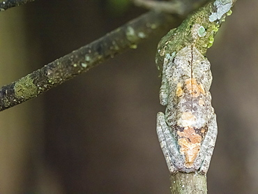 An adult gladiator treefrog (Hypsiboas boans) near Clavero Lake, Amazon Basin, Loreto, Peru, South America