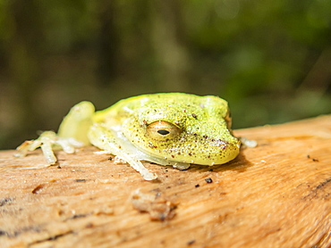 An adult rough-skinned green treefrog (Hyla granosa), on the Maranon River, Nauta, Peru, South America