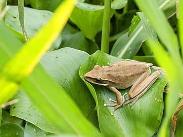 An adult rocket treefrog (Hyla lanciformis), on the Pacaya River, Amazon Basin, Loreto, Peru, South America