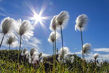 Arctic cottongrass (Eriophorum callitrix), Heckla Haven, Northeast Greenland, Polar Regions