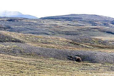 Muskox bull (Ovibos moschatus), Myggebukta (Mosquito Bay), Christian X's Land, Northeast Greenland, Polar Regions