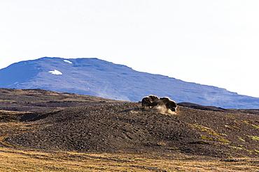 Muskox bulls (Ovibos moschatus), Myggebukta (Mosquito Bay), Christian X's Land, Northeast Greenland, Polar Regions