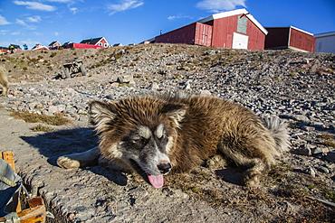 Sled dog, Inuit village, Ittoqqortoormiit, Scoresbysund, Northeast Greenland, Polar Regions