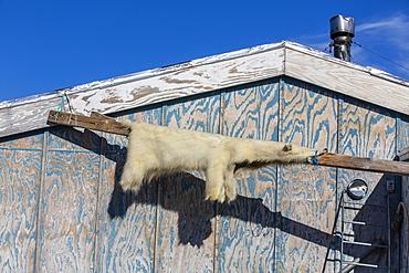 Skin of polar bear (Ursus maritimus), Inuit village, Ittoqqortoormiit, Scoresbysund, Northeast Greenland, Polar Regions