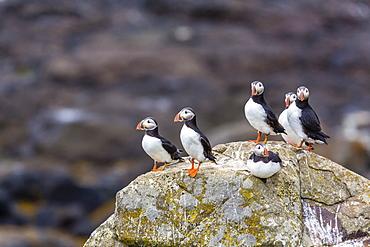 Atlantic puffins (common puffins) (Fratercula arctica), Flatey Island, Iceland, Polar Regions