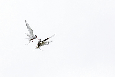 Adult arctic terns (Sterna paradisaea) in dispute on Flatey Island, Iceland, Polar Regions