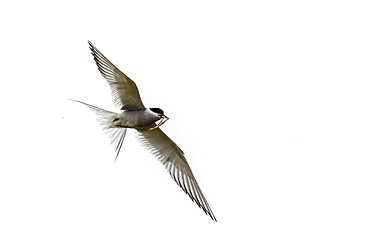 Adult arctic tern (Sterna paradisaea) returning to chick with small fish, Flatey Island, Iceland, Polar Regions