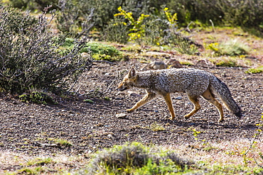 Adult Patagonian gray fox (Lycalopex griseus), Torres del Paine, Chile, South America