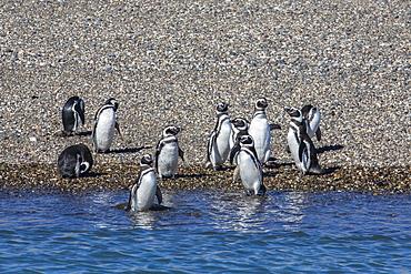 Adult Magellanic penguins (Spheniscus magellanicus), Puerto Deseado, Patagonia, Argentina, South America