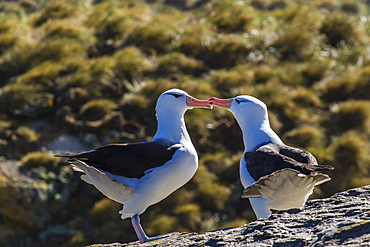 Adult black-browed albatross (Thalassarche melanophrys) pair, nesting site on New Island, Falklands, South Atlantic Ocean, South America