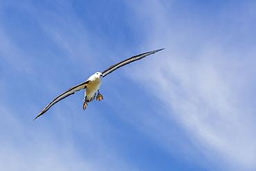 Adult black-browed albatross (Thalassarche melanophrys) in flight, New Island, Falklands, South Atlantic Ocean, South America