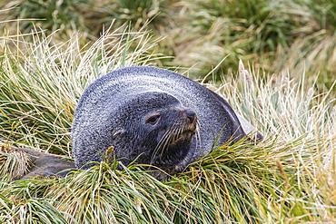 Antarctic fur seal (Arctocephalus gazella) in the tussac grass at Peggotty Bluff, South Georgia Island, South Atlantic Ocean, Polar Regions