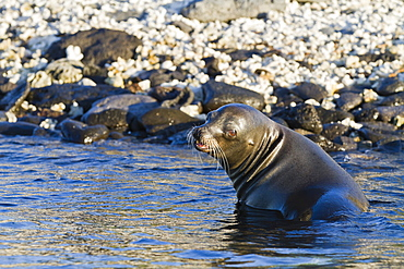 Galapagos sea lion (Zalophus wollebaeki), Sombrero Chino Island, Galapagos Islands, UNESCO World Heritage Site, Ecuador, South America
