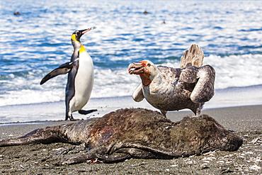 Northern giant petrel (Macronectes halli) posturing over dead fur seal carcass, Gold Harbour, South Georgia, South Atlantic Ocean, Polar Regions