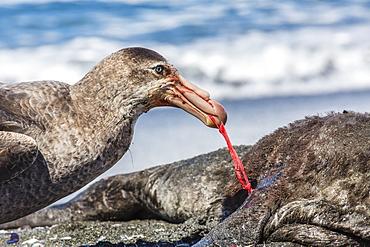 Northern giant petrel (Macronectes halli) feeding on dead fur seal carcass, Gold Harbour, South Georgia, South Atlantic Ocean, Polar Regions
