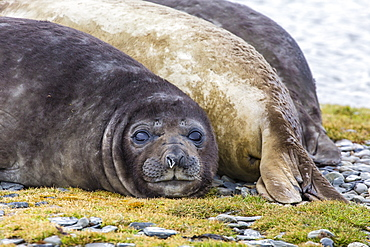 Southern elephant seal (Mirounga leonina) bull, Peggotty Bluff, South Georgia, South Atlantic Ocean, Polar Regions