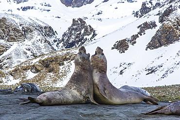 Southern elephant seal (Mirounga leonina) bulls fighting at Gold Harbour, South Georgia, South Atlantic Ocean, Polar Regions