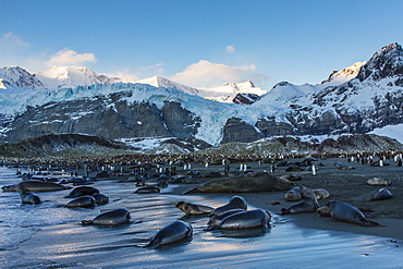 Southern elephant seal (Mirounga leonina) pups at sunrise, Gold Harbour, South Georgia, South Atlantic Ocean, Polar Regions