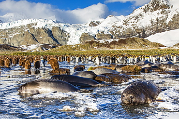 Southern elephant seal (Mirounga leonina) pups, Gold Harbour, South Georgia, South Atlantic Ocean, Polar Regions
