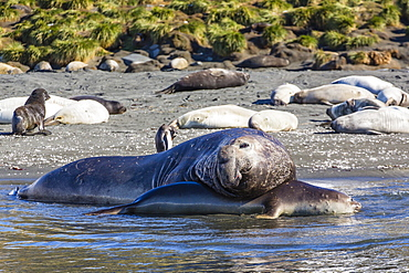 Southern elephant seal (Mirounga leonina) bull mating with female, Gold Harbour, South Georgia, South Atlantic Ocean, Polar Regions