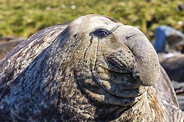 Southern elephant seal (Mirounga leonina) bull, Gold Harbour, South Georgia, South Atlantic Ocean, Polar Regions