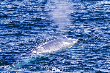 Adult blue whale (Balaenoptera musculus) surfacing off northwestern Spitsbergen Island, Svalbard, Barents Sea, Norway, Scandinavia, Europe