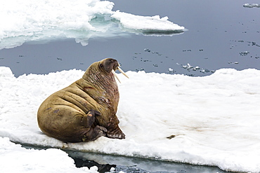 Adult walrus (Odobenus rosmarus rosmarus), Torrelneset, Nordauslandet Island, Svalbard Archipelago, Norway, Scandinavia, Europe