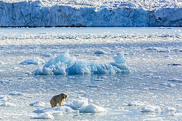Adult polar bear (Ursus maritimus) on the ice in Gashamna (Goose Bay), Spitsbergen Island, Svalbard, Norway, Scandinavia, Europe