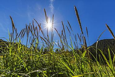 Sun shining through grass on Chichagof Island, Southeast Alaska, United States of America, North America