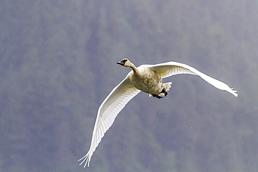Adult trumpeter swan (Cygnus buccinator) near LeConte Glacier outside Petersburg, Southeast Alaska, United States of America, North America