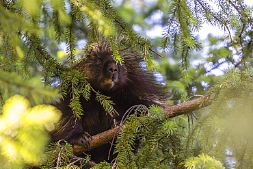 Adult porcupine (Erethizon dorsatum) foraging near Mendenhall Glacier, Southeast Alaska, United States of America, North America