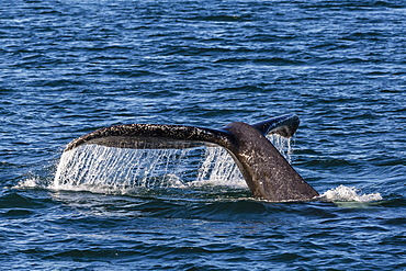 Adult humpback whale (Megaptera novaeangliae) flukes-up dive, Snow Pass, Southeast Alaska, United States of America, North America