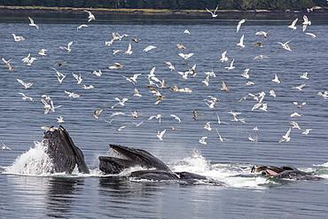 Adult humpback whales (Megaptera novaeangliae) co-operatively bubble-net feeding, Snow Pass, Southeast Alaska, United States of America, North America