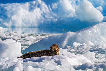 Harbour seal (Phoca vitulina), South Sawyer Glacier, Tracy Arm-Ford's Terror Wilderness area, Southeast Alaska, United States of America, North America
