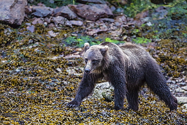 Young brown bear (Ursus arctos) at low tide in Pavlof Harbour, Chichagof Island, Southeast Alaska, United States of America, North America