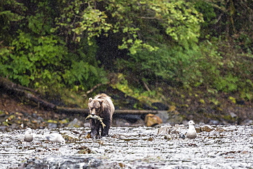 Young brown bear (Ursus arctos) fishing for pink salmon at low tide in Pavlof Harbour, Chichagof Island, Southeast Alaska, United States of America, North America