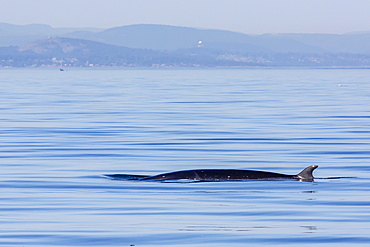 Northern minke whale, Balaenoptera acutorostrata, surfacing in Cattle Pass, San Juan Islands, Washington, United States of America, North America