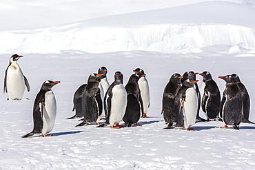 Recently fledged emperor penguin (Aptenodytes forsteri) with gentoo penguins (Pygoscelis papua), Enterprise Islands, Antarctica, Southern Ocean, Polar Regions