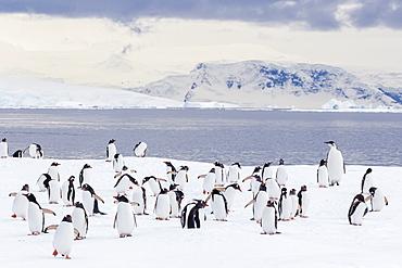Recently fledged emperor penguin (Aptenodytes forsteri), with gentoo penguins (Pygoscelis papua), Enterprise Islands, Antarctica, Southern Ocean, Polar Regions