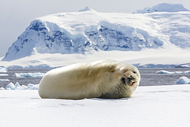 Adult crabeater seal (Lobodon carcinophaga), Cuverville Island, near the Antarctic Peninsula, Southern Ocean, Polar Regions