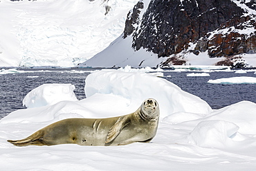 Female crabeater seal (Lobodon carcinophaga), Cuverville Island, near the Antarctic Peninsula, Antarctica, Southern Ocean, Polar Regions