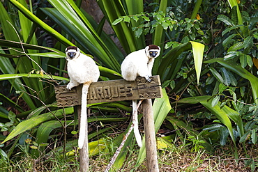Verreaux Sifakas, Propithecus verreauxi, Nahampoana Reserve, South Madagascar, Madagascar, Africa