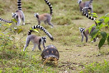 Tortoise and Ringtailed Lemurs, Lemur catta, Nahampoana Reserve, South Madagascar, Africa